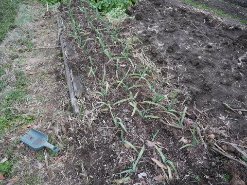 灰など撒き、ジャガイモとサトイモの植え付け準備2・2_c0014967_21094660.jpg