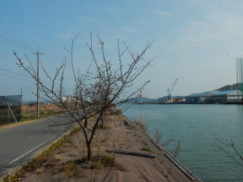 立春に、わずかに膨らむ桜のつぼみ_e0175370_23513429.jpg