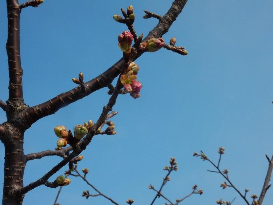 立春に、わずかに膨らむ桜のつぼみ_e0175370_23514103.jpg