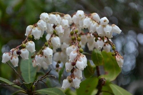 花だより、山では馬酔木が ・・・_b0102572_23212919.jpg