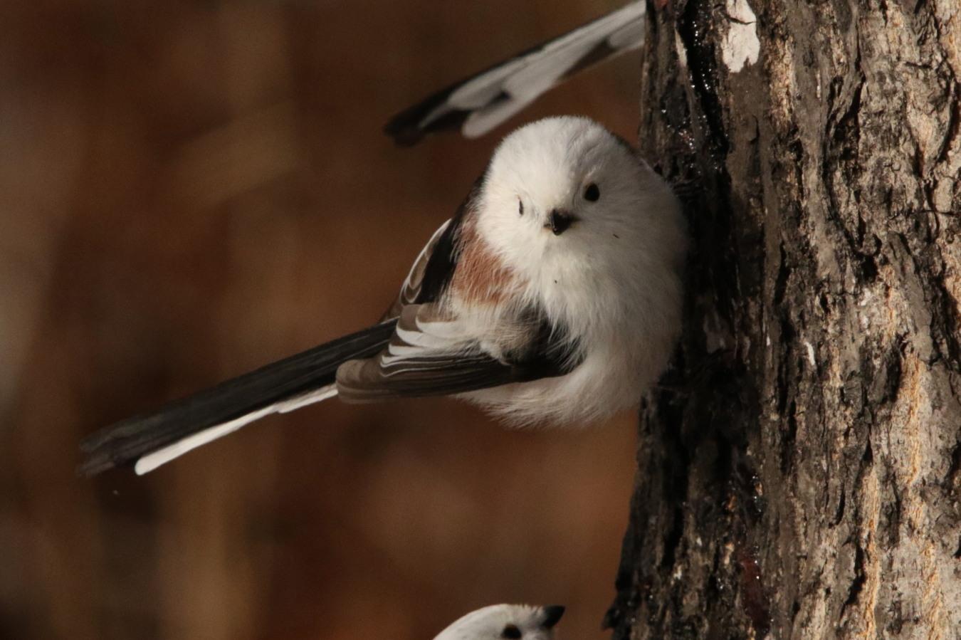 港の海ガモ 森の小鳥_c0360399_22261004.jpg