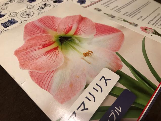 アマリリスの鉢植/yoshi _d0135801_22144351.jpg