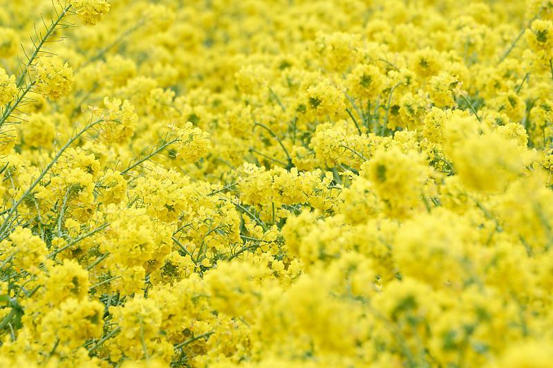 再訪 菜の花と雪の比良山@守山 なぎさ公園_f0032011_20005143.jpg