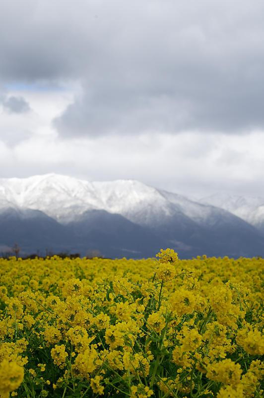 再訪 菜の花と雪の比良山@守山 なぎさ公園_f0032011_20005149.jpg
