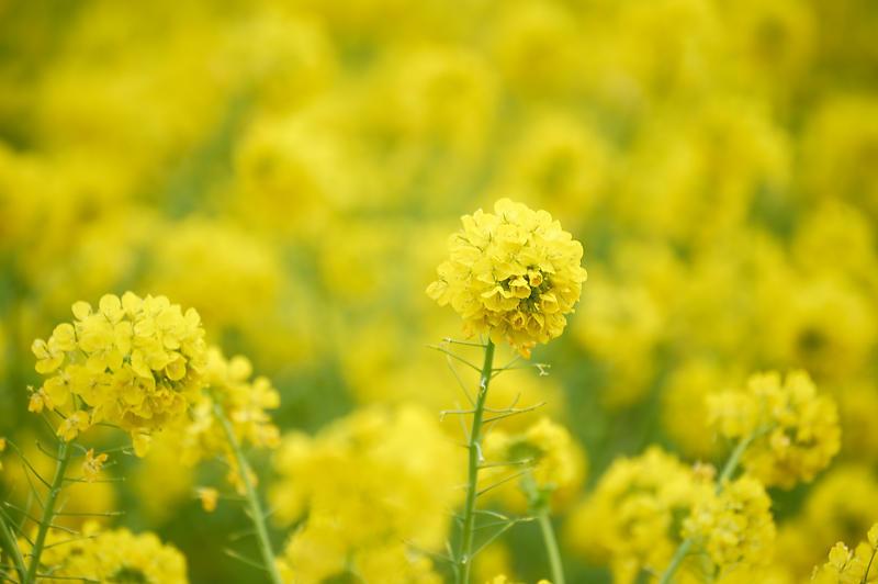 再訪 菜の花と雪の比良山@守山 なぎさ公園_f0032011_20005206.jpg