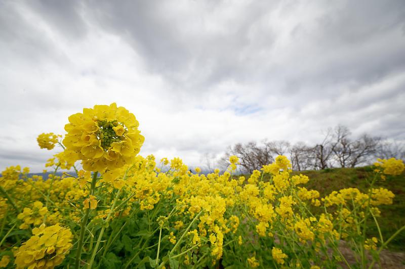 再訪 菜の花と雪の比良山@守山 なぎさ公園_f0032011_20005264.jpg