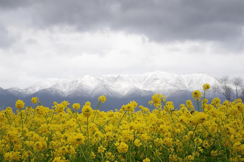 再訪 菜の花と雪の比良山@守山 なぎさ公園_f0032011_20005276.jpg