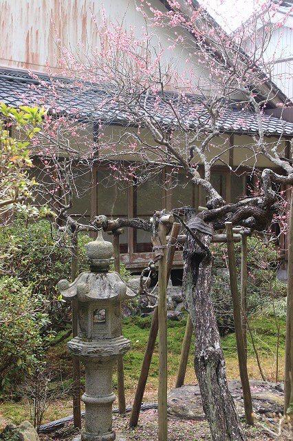 長楽寺の紅梅満開(その2)(撮影:1月31日)_e0321325_16034121.jpg