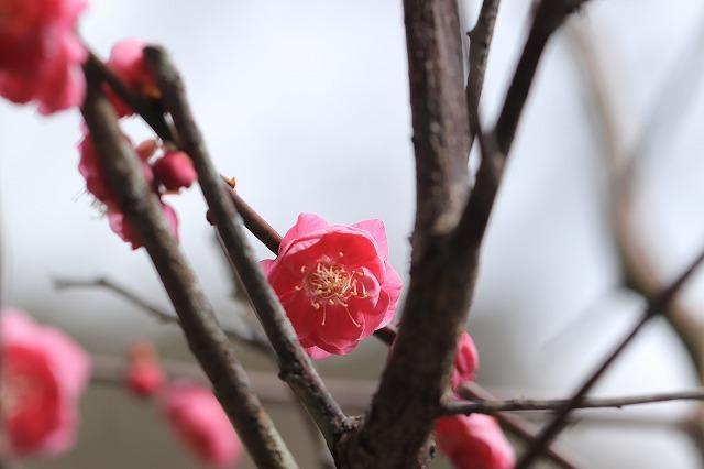 長楽寺の紅梅満開(その2)(撮影:1月31日)_e0321325_16050300.jpg