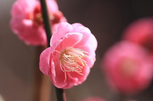 長楽寺の紅梅満開(その2)(撮影:1月31日)_e0321325_16063734.jpg