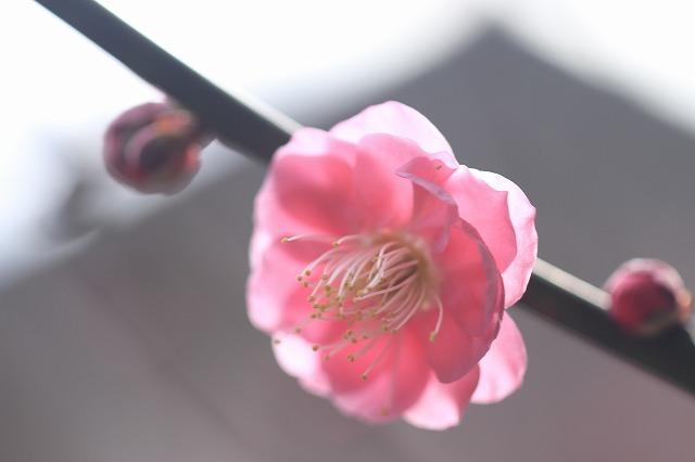 長楽寺の紅梅満開(その2)(撮影:1月31日)_e0321325_16064947.jpg