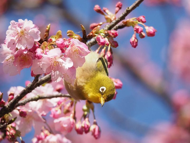 メジロで2020年春を先取り_d0052327_1918811.jpg