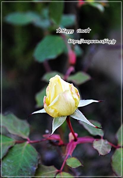 ポークソーセージおむすび弁当と庭からバラのつぼみ♪_f0348032_18044141.jpg