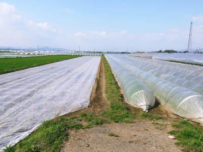 有機栽培の水田ごぼう 土作りから種まき、そして現在の発芽まで(2020) _a0254656_17173607.jpg