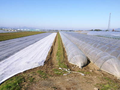 有機栽培の水田ごぼう 土作りから種まき、そして現在の発芽まで(2020) _a0254656_17242693.jpg