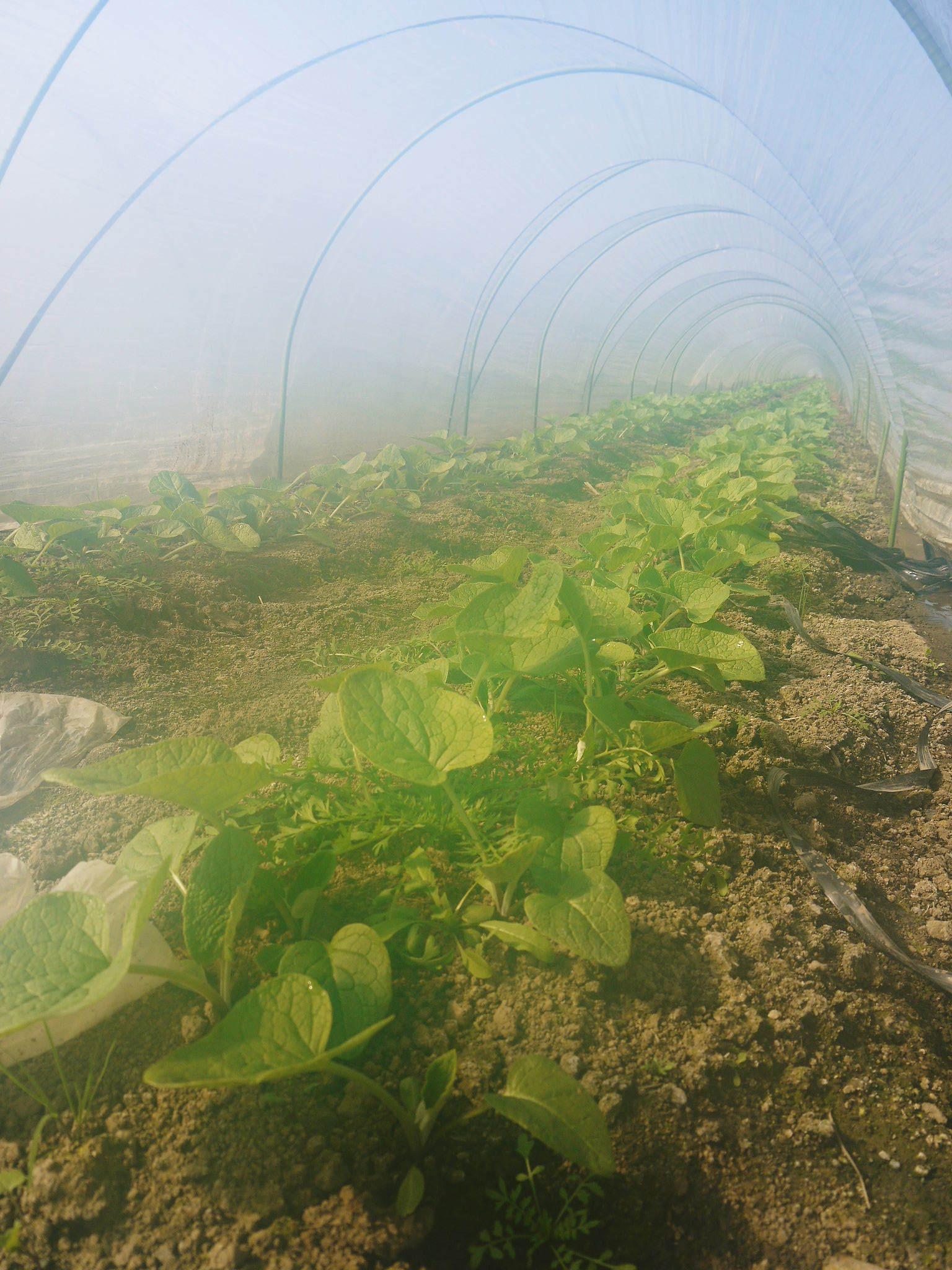 有機栽培の水田ごぼう 土作りから種まき、そして現在の発芽まで(2020) _a0254656_17275253.jpg