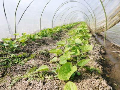 有機栽培の水田ごぼう 土作りから種まき、そして現在の発芽まで(2020) _a0254656_17370631.jpg