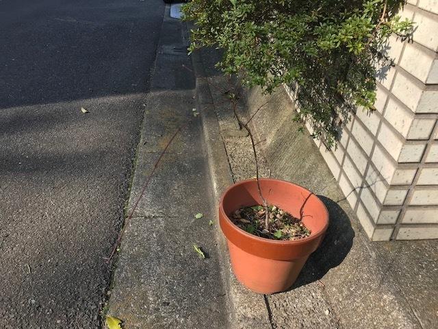 鉢植えのイロハモミジを六国見山に植樹、累計483本に2・3_c0014967_06061161.jpg