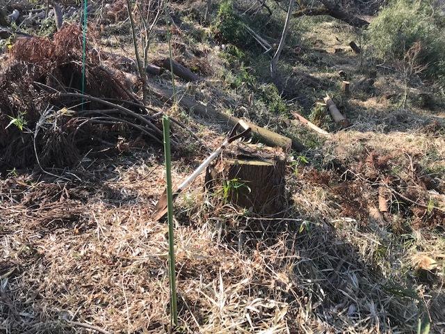 鉢植えのイロハモミジを六国見山に植樹、累計483本に2・3_c0014967_06064772.jpg