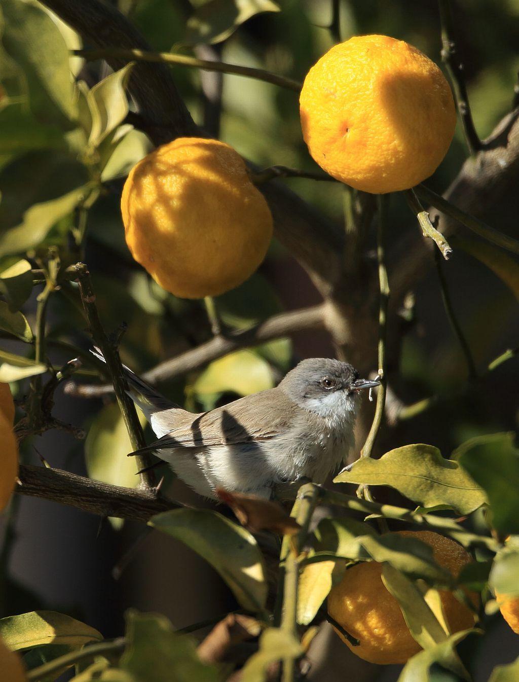 珍鳥と柚子_f0105570_21322436.jpg