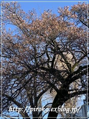 桜が咲き始めた_b0010775_10200358.jpg