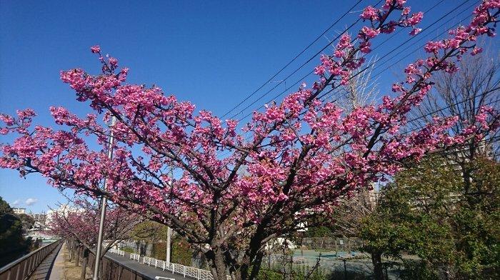 #121) 今年は暖冬で桜も早い??_c0222083_08504809.jpg