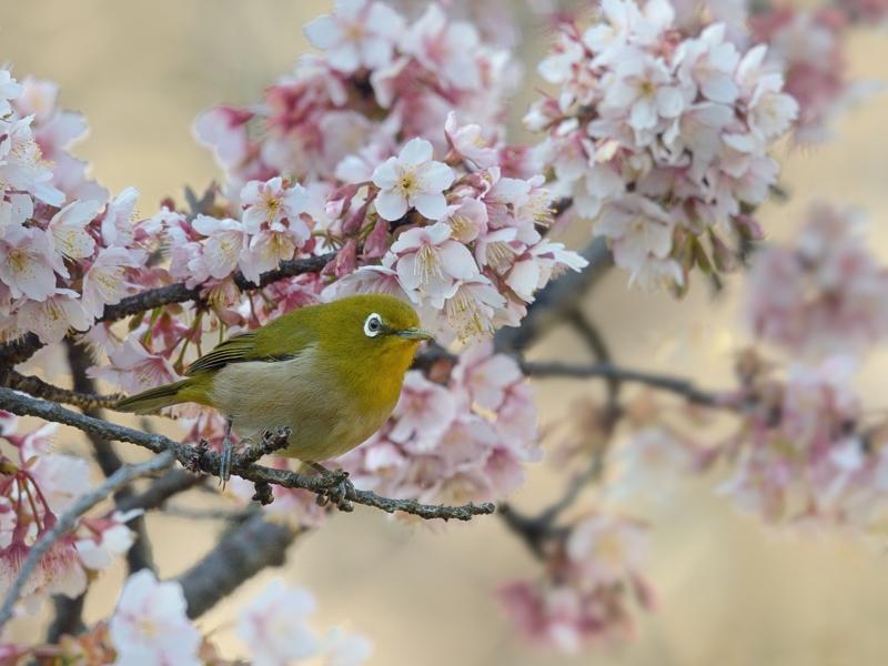 寒桜とメジロたち_a0204089_22274430.jpg