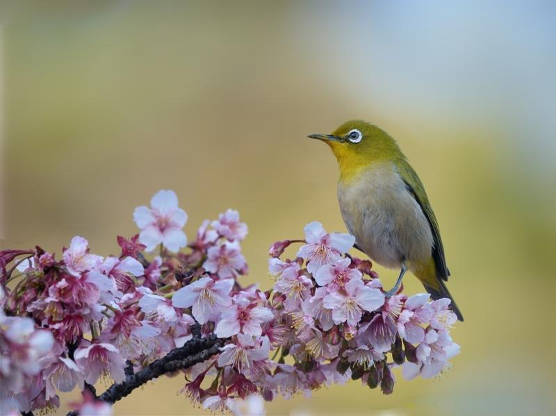 寒桜とメジロたち_a0204089_2228123.jpg