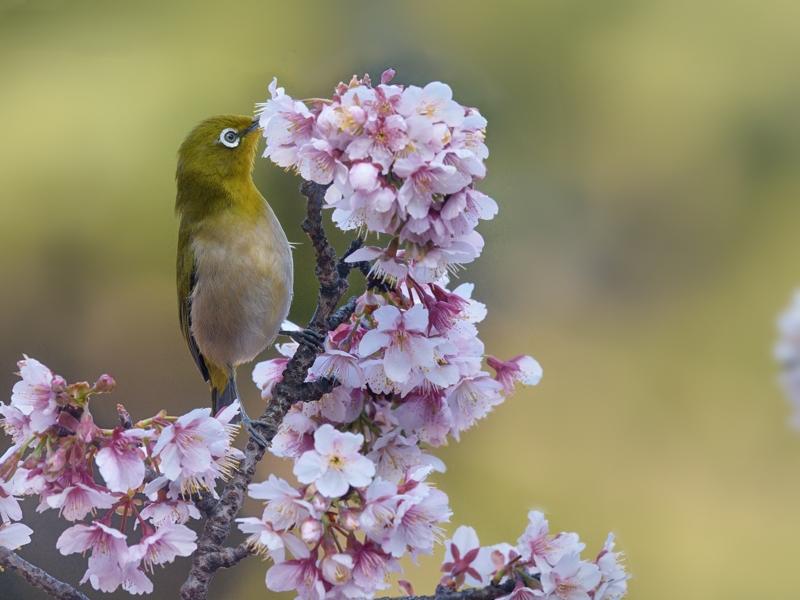 寒桜とメジロたち_a0204089_22284128.jpg