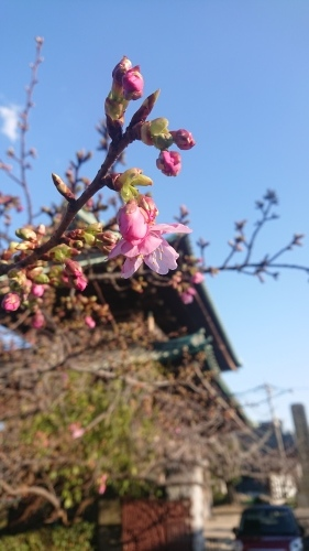 河津桜_f0156117_19120874.jpg