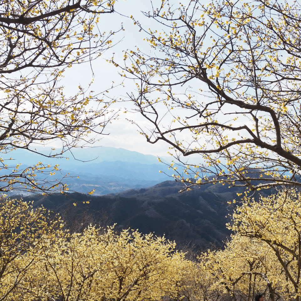 蝋梅の山へ_b0206421_17270885.jpg