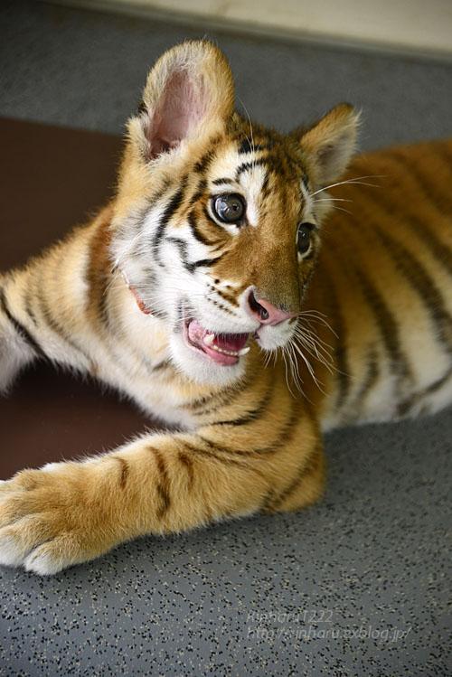 2018.8.13 東北サファリパーク☆トラのリラちゃま<その4>【Tiger】_f0250322_20315226.jpg