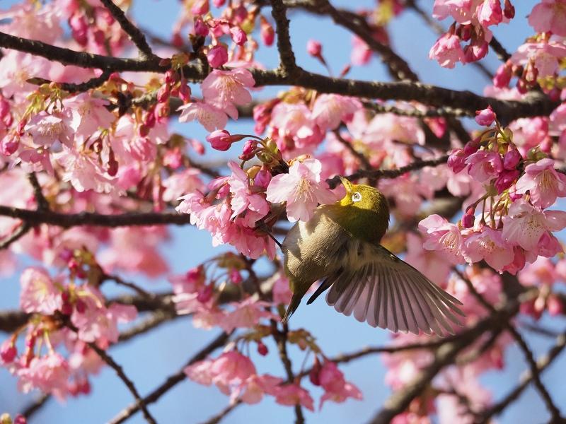 メジロで2020年春を先取り_d0052327_8422131.jpg