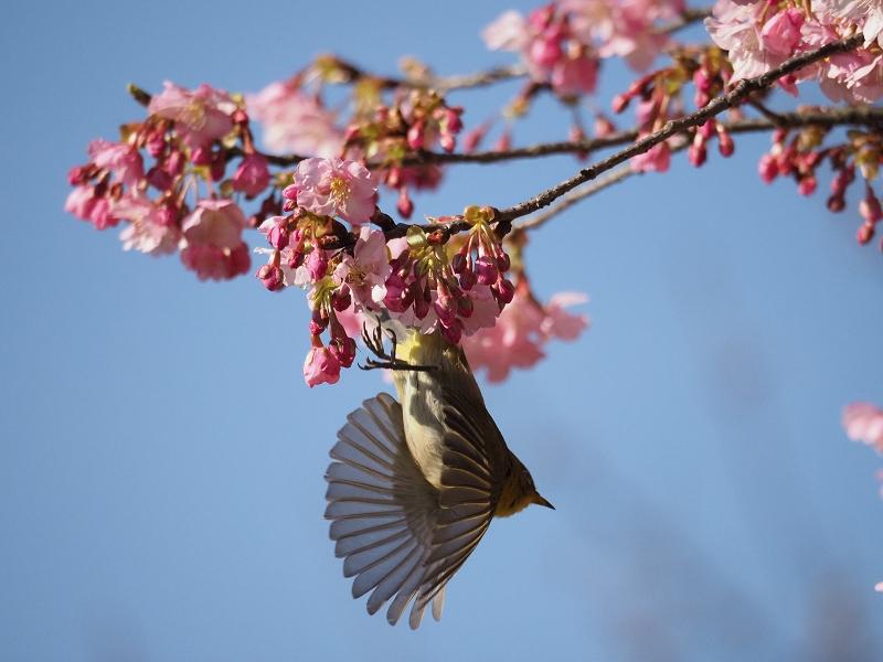メジロで2020年春を先取り_d0052327_8424877.jpg