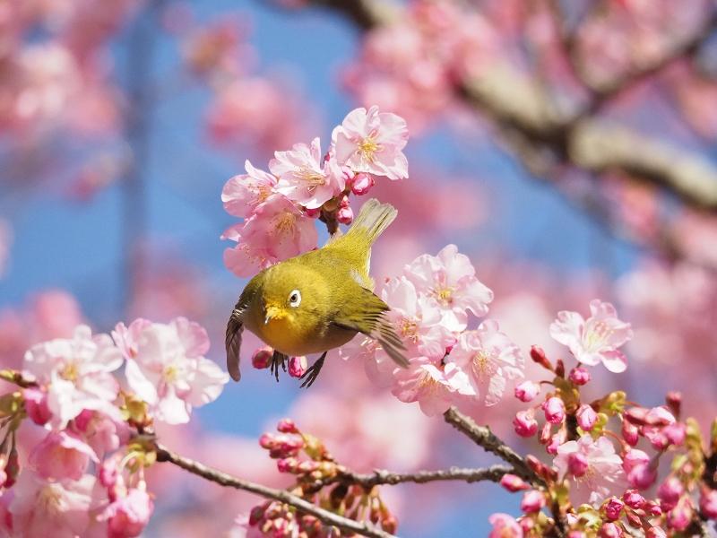 メジロで2020年春を先取り_d0052327_8431594.jpg