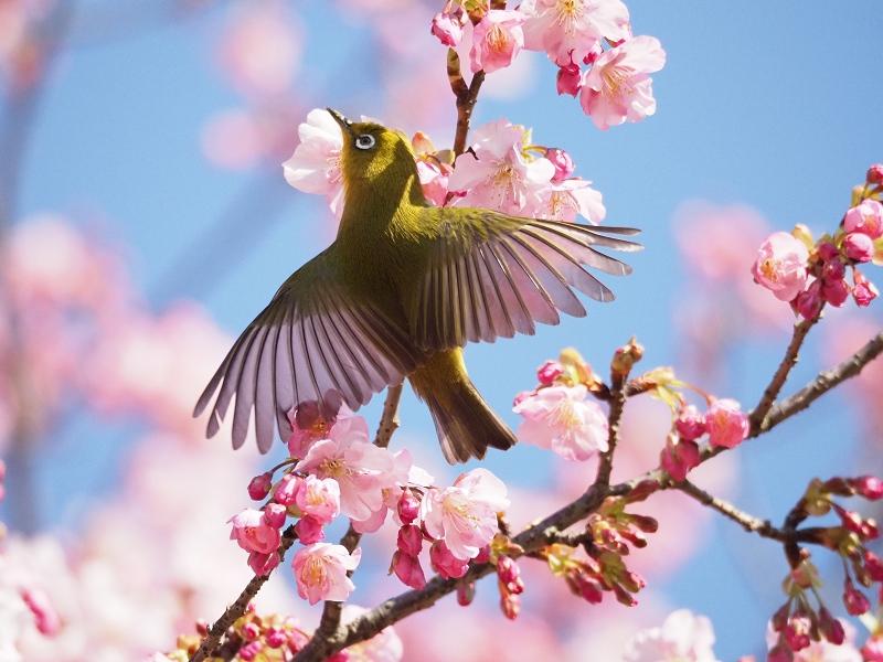 メジロで2020年春を先取り_d0052327_8441197.jpg