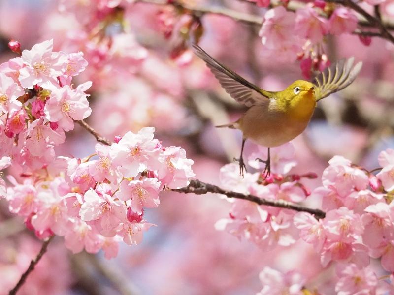 メジロで2020年春を先取り_d0052327_8471178.jpg