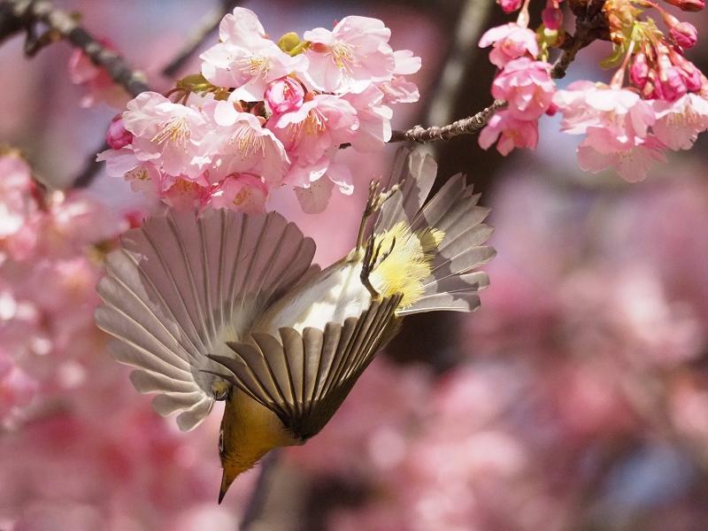 メジロで2020年春を先取り_d0052327_8473679.jpg