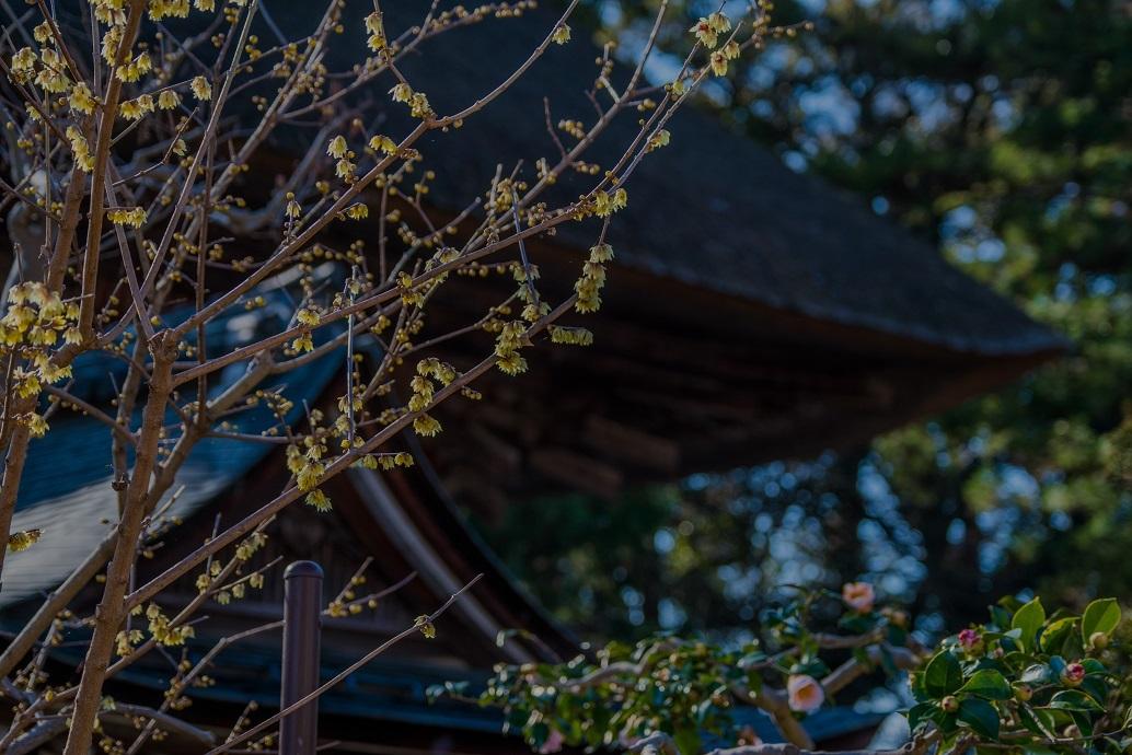 沙沙貴神社の蝋梅_e0363038_15193600.jpg