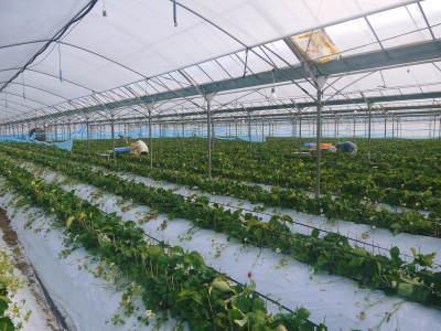 熊本限定栽培品種のイチゴ『熊紅(ゆうべに)』 大好評に付、は少々お待たせする場合がございます!_a0254656_17244299.jpg