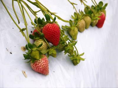 熊本限定栽培品種のイチゴ『熊紅(ゆうべに)』 大好評に付、は少々お待たせする場合がございます!_a0254656_17304151.jpg