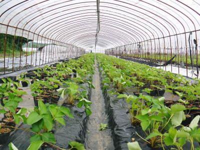 熊本限定栽培品種のイチゴ『熊紅(ゆうべに)』 大好評に付、は少々お待たせする場合がございます!_a0254656_17312570.jpg