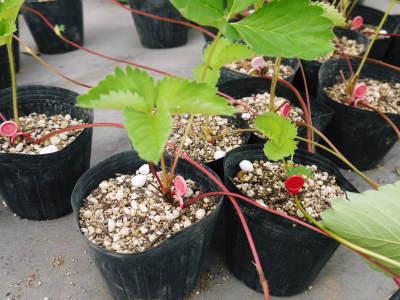 熊本限定栽培品種のイチゴ『熊紅(ゆうべに)』 大好評に付、は少々お待たせする場合がございます!_a0254656_17340056.jpg