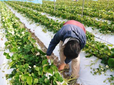 熊本限定栽培品種のイチゴ『熊紅(ゆうべに)』 大好評に付、は少々お待たせする場合がございます!_a0254656_18364088.jpg