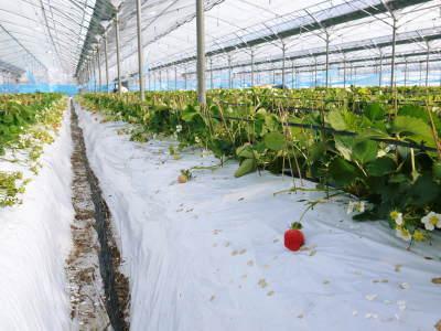 熊本限定栽培品種のイチゴ『熊紅(ゆうべに)』 大好評に付、は少々お待たせする場合がございます!_a0254656_18380750.jpg