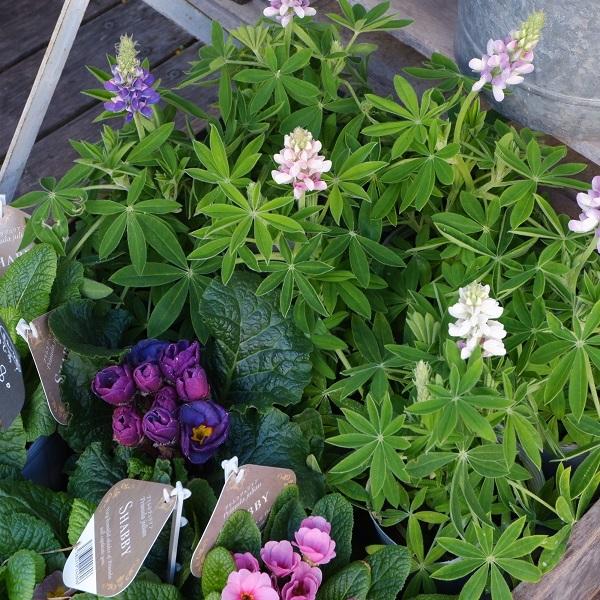 オークリーフ(春の花)_f0049672_23063352.jpg