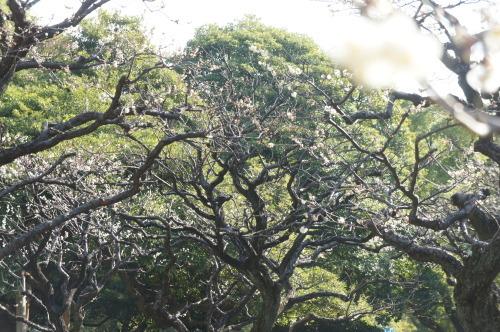 【芝公園(東京都港区)梅が咲いていました】_f0215714_16380881.jpg