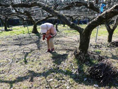 熊本梨 岩永農園 匠の剪定と誘引作業!(2020) 今年も木漏れ日のステージを作ります!(前編)_a0254656_17155498.jpg
