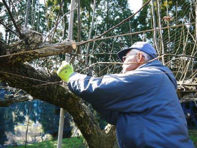 熊本梨 岩永農園 匠の剪定と誘引作業!(2020) 今年も木漏れ日のステージを作ります!(前編)_a0254656_17344779.jpg