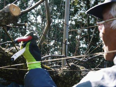 熊本梨 岩永農園 匠の剪定と誘引作業!(2020) 今年も木漏れ日のステージを作ります!(前編)_a0254656_17441046.jpg